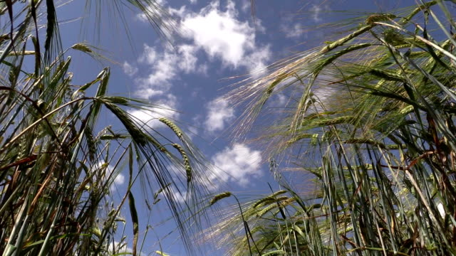 barley plants ears move in wind on blue cloudy sky background video