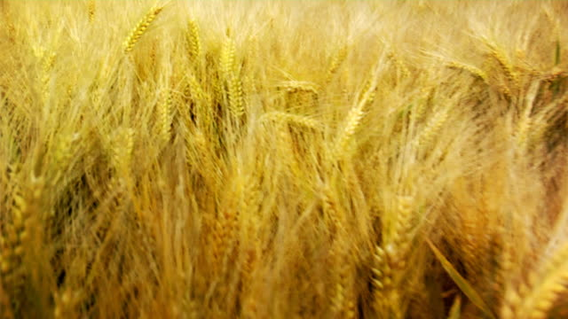 Barley (HD 1080) video