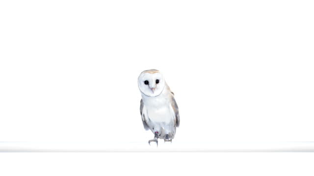 Barn owl perched and looking around video