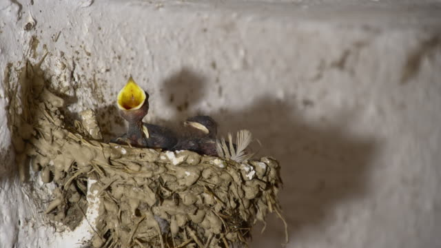 LS Barn swallow chicks in the nest video