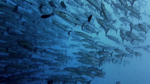 Barracuda School, Sipadan, Malaysia video