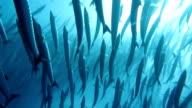 Barracuda Shoal video