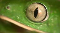 Barred monkey frog (Phyllomedusa tomopterna) video