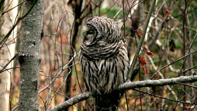 Barred Owl video