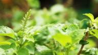 Basil Leaves in the vegetable garden video