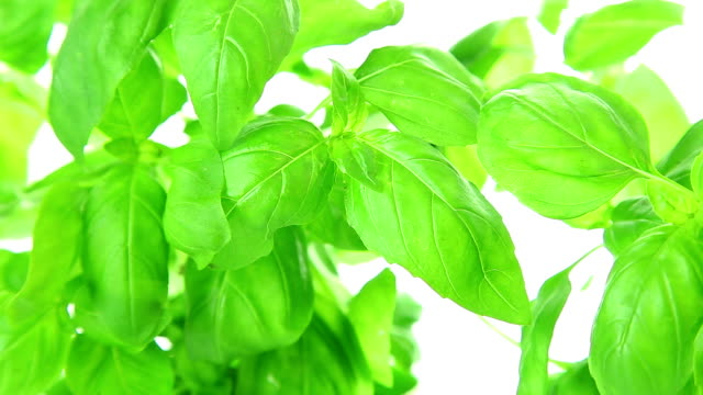 Basil leaves video