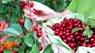 Basket full of cherries video