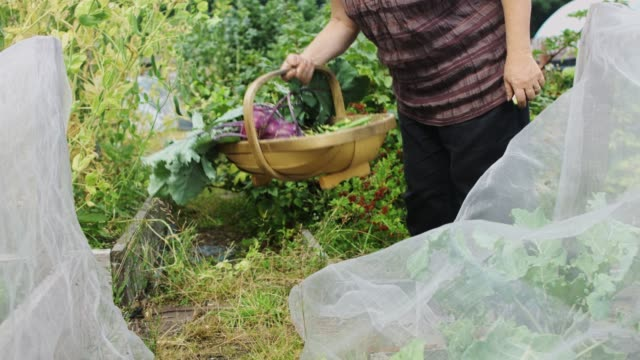 Basket of Fresh produce in Allotment Garden video