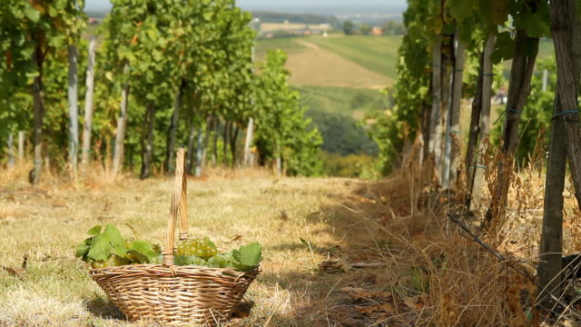 HD DOLLY: Basket Of Grapes In Vineyard video