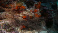 Basket starfish, close-up shot, Indonesia video