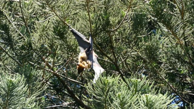Bat hanging on a tree branch in Sri-Lanka in national park. Flying fox. video