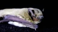 Bat night lying on the ground video