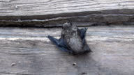 bat  (Eptesicus nilssonii) on old farm house wooden wall video