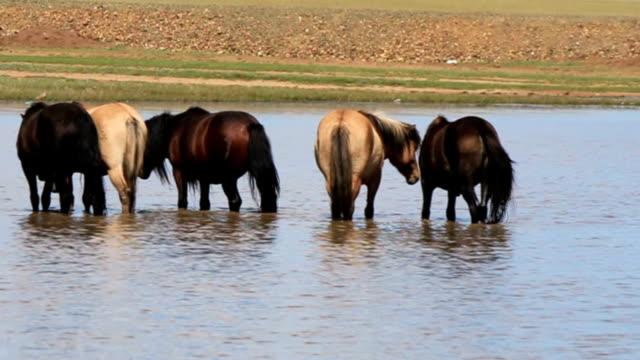 Batch of nice mongolian horses video