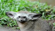 Bat-eared fox ,pawed mammal in nature video