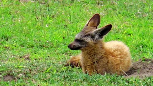 bat-eared. fox Tanzania video