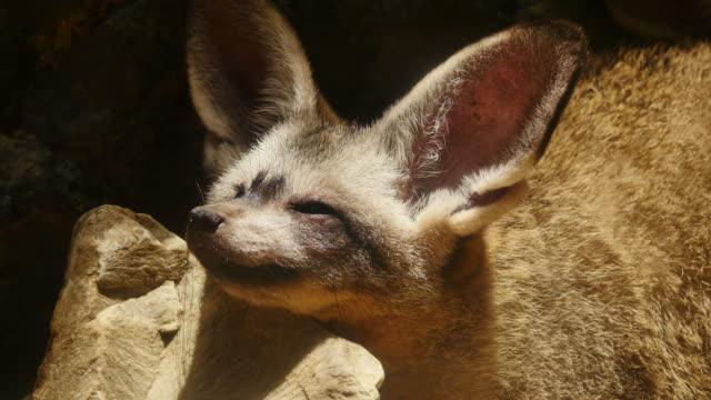 Bat-eared fox. video