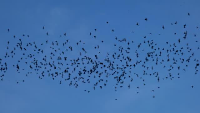 Bats flying on blue sky in evening video