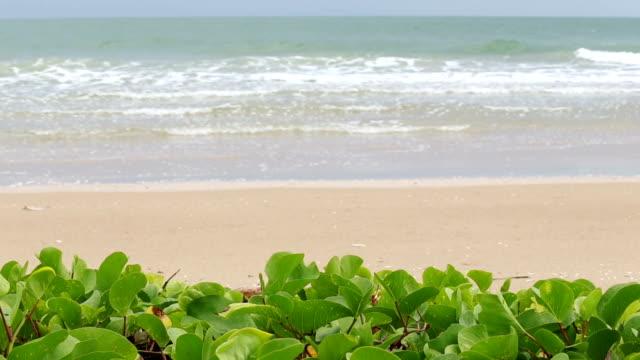 Beach and Morning glory tree. video