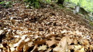 A beagle digging himself into the pile of fallen tree leaves video