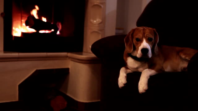 Beagle dog lying in the armchair watching into camera with fireplace background video