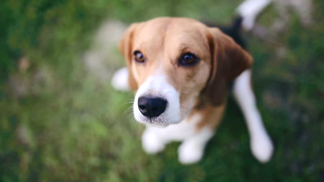 Beagle dog sitting in green grass and barking video