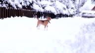 Beagle dog walk on the snowy mountain village roads video