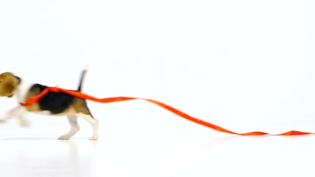 beagle puppy with red ribbon. Slow motion video