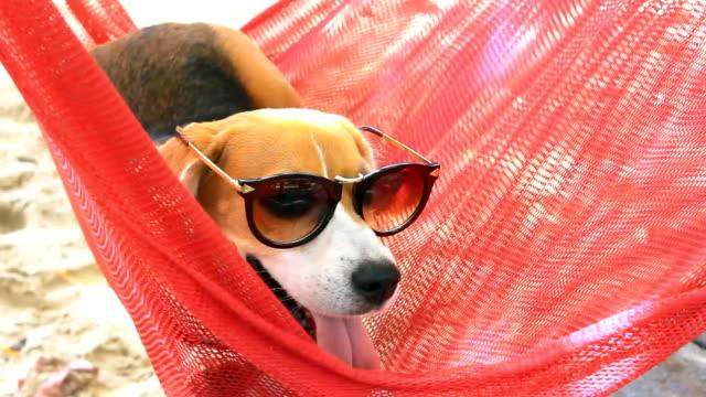 Beagle relax on hammock video