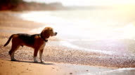 A beagle standing on the beach watchong waves come and go video
