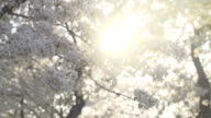 Beams of Light Filtering Through Blossoms video