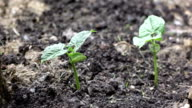 Bean Sprouts in the Garden | Video video