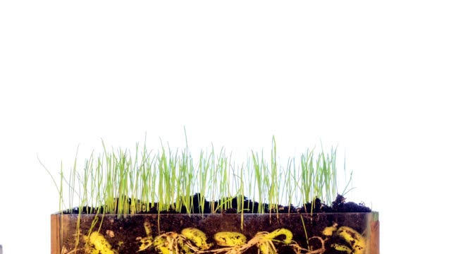 Bean Sprouts, Plant Growth Timelapse, Time-Lapse Green Grass Growing, Closeup, Time Lapse Footage Bean Seed Germination video