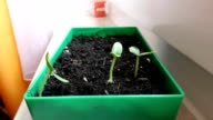 Bean sprouts plant growth timelapse Time-lapse green grass growing Closeup growing video
