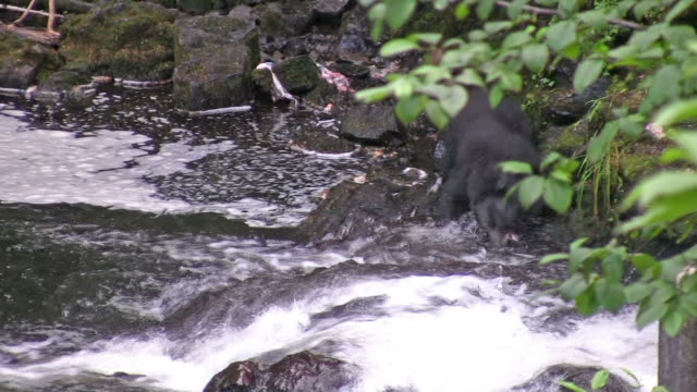 Bear Catching a Salmon video