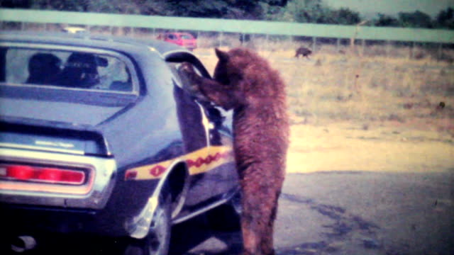 Bear Cub Eating Out Of Car Window-1979 Vintage 8mm film video