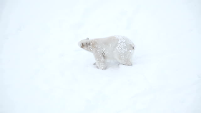 Bear cub in snow video