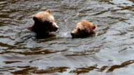 Bear Cubs Playing in the water video