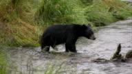 Bear Hunting Salmon High Definition HD Video video