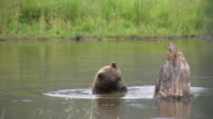 Bear Playing in the Water video