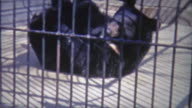 1973: Bear rolling around in small inhumane cage. video