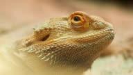 Bearded Dragon, Close up. video
