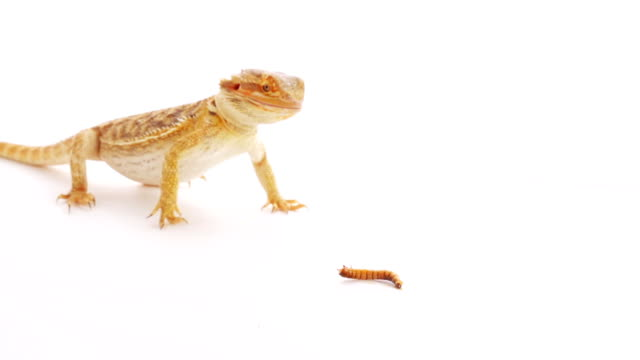 Bearded dragon (agama lizard) eating zophobas worm over white video