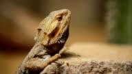Bearded Dragon video
