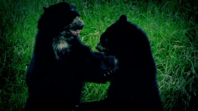 Bears Fighting At Dusk video