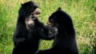 Bears Fighting In Wild Grassland video