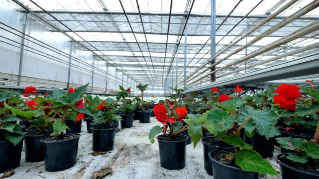Beatiful flowers in a Garden pot. Huge plant growing greenhouse. 4K. video
