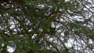 CLOSE UP: Beautiful African fish eagle sitting on a branch in lush acacia tree video