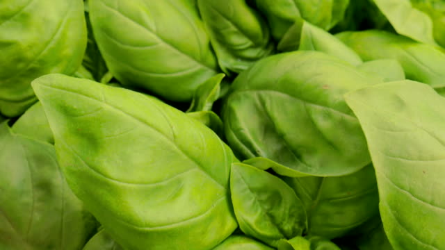 beautiful and fresh basil leaves video