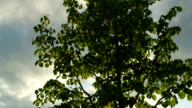 CLOSE UP: Beautiful and young lush linden tree on sunny summer evening video